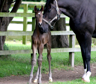 El. Lady Sunshine delivers another stunning Furstenball colt