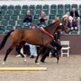 Dalloway winning the Hanoverian Youngstock Championship as a two year old