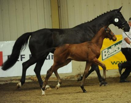 Bellagio as a foal winning a Higher First at the BEF Keysoe