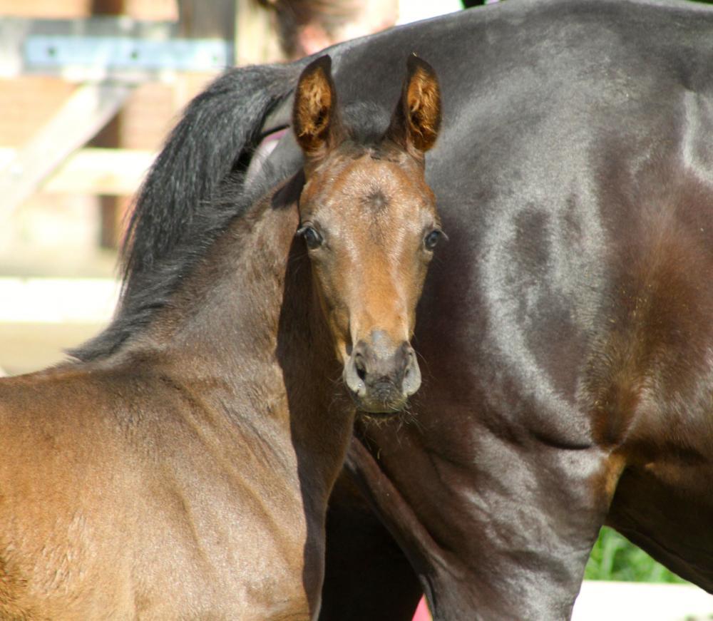 Waverley Cristal filly foal