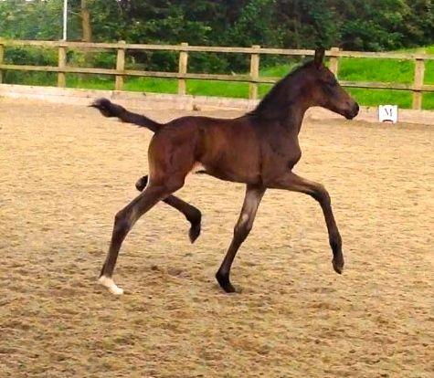 Waverley Cristal filly foal