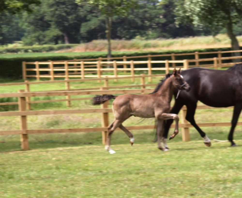 Giselle as a foal